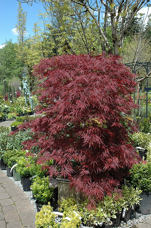Red Dragon Japanese Maple (Acer palmatum 'Red Dragon') at Riverbend Nurseries