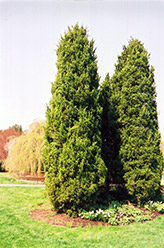 Eastern Redcedar (Juniperus virginiana) at Riverbend Nurseries