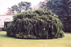 Weeping Hemlock (Tsuga canadensis 'Pendula') at Riverbend Nurseries