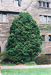 Compact Hinoki Falsecypress (Chamaecyparis obtusa 'Compacta') at Riverbend Nurseries