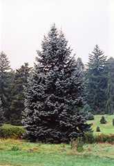 Hoopsii Blue Spruce (Picea pungens 'Hoopsii') at Riverbend Nurseries