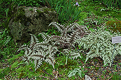 Japanese Painted Fern (Athyrium nipponicum 'Pictum') at Riverbend Nurseries