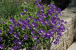 Blue Clips Bellflower (Campanula carpatica 'Blue Clips') at Riverbend Nurseries