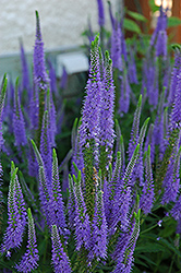 Sunny Border Blue Speedwell (Veronica 'Sunny Border Blue') at Riverbend Nurseries