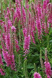 Red Fox Speedwell (Veronica spicata 'Red Fox') at Riverbend Nurseries