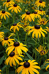 Goldsturm Coneflower (Rudbeckia fulgida 'Goldsturm') at Riverbend Nurseries