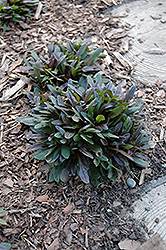Chocolate Chip Bugleweed (Ajuga reptans 'Chocolate Chip') at Riverbend Nurseries