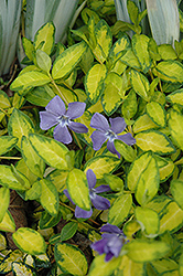 Illumination Periwinkle (Vinca minor 'Illumination') at Riverbend Nurseries
