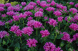 Petite Delight Beebalm (Monarda 'Petite Delight') at Riverbend Nurseries