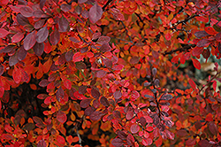 Rose Glow Japanese Barberry (Berberis thunbergii 'Rose Glow') at Riverbend Nurseries