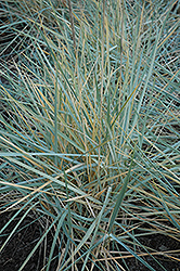Blue Dune Lyme Grass (Leymus arenarius 'Blue Dune') at Riverbend Nurseries