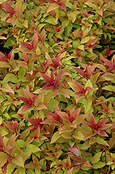 Goldflame Spirea (Spiraea x bumalda 'Goldflame') at Riverbend Nurseries