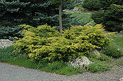 Old Gold Juniper (Juniperus x media 'Old Gold') at Riverbend Nurseries