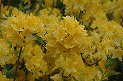 Lemon Lights Azalea (Rhododendron 'Lemon Lights') at Riverbend Nurseries