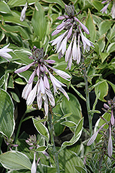 Francee Hosta (Hosta 'Francee') at Riverbend Nurseries