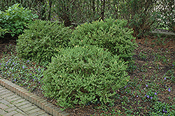 Wintergreen Boxwood (Buxus microphylla 'Wintergreen') at Riverbend Nurseries