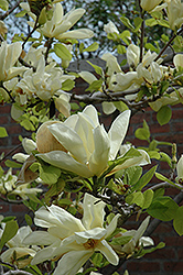 Elizabeth Magnolia (Magnolia 'Elizabeth') at Riverbend Nurseries