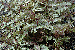 Red Beauty Painted Fern (Athyrium nipponicum 'Red Beauty') at Riverbend Nurseries