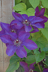 The President Clematis (Clematis 'The President') at Riverbend Nurseries