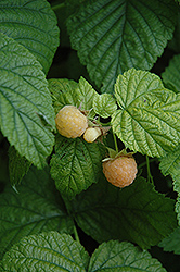 Fall Gold Raspberry (Rubus 'Fall Gold') at Riverbend Nurseries