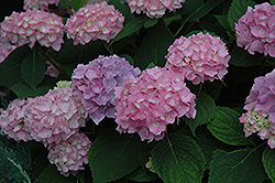 Endless Summer® Hydrangea (Hydrangea macrophylla 'Endless Summer') at Riverbend Nurseries