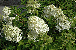 Little Lamb Hydrangea (Hydrangea paniculata 'Little Lamb') at Riverbend Nurseries