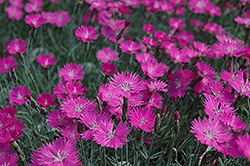 Firewitch Pinks (Dianthus gratianopolitanus 'Firewitch') at Riverbend Nurseries