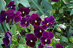 Matrix® Purple Pansy (Viola 'PAS770616') at Riverbend Nurseries