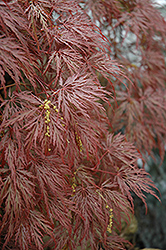 Inaba Shidare Cutleaf Japanese Maple (Acer palmatum 'Inaba Shidare') at Riverbend Nurseries