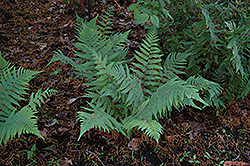 Dixie Wood Fern (Dryopteris x australis) at Riverbend Nurseries