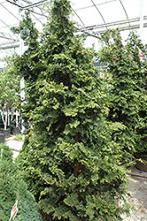 Wells Special Hinoki Falsecypress (Chamaecyparis obtusa 'Wells Special') at Riverbend Nurseries