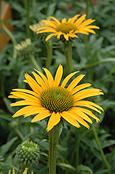 Mac 'n' Cheese Coneflower (Echinacea 'Mac 'n' Cheese') at Riverbend Nurseries