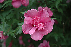 Lucy Rose Of Sharon (Hibiscus syriacus 'Lucy') at Riverbend Nurseries