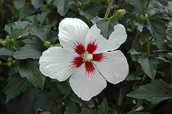 Lil' Kim® Rose of Sharon (Hibiscus syriacus 'Antong Two') at Riverbend Nurseries