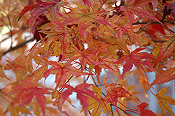 Butterfly Variegated Japanese Maple (Acer palmatum 'Butterfly') at Riverbend Nurseries