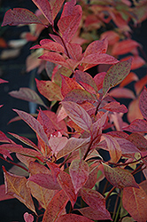 Little Henry® Virginia Sweetspire (Itea virginica 'Sprich') at Riverbend Nurseries