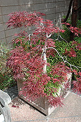 Ever Red Lace-Leaf Japanese Maple (Acer palmatum 'Ever Red') at Riverbend Nurseries