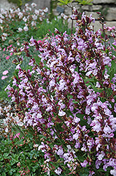 Dwarf Sage (Salvia officinalis 'Nana') at Riverbend Nurseries