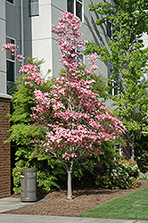Cherokee Brave Flowering Dogwood (Cornus florida 'Cherokee Brave') at Riverbend Nurseries