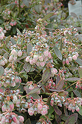 Legacy Blueberry (Vaccinium corymbosum 'Legacy') at Riverbend Nurseries