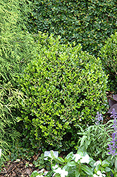 Winter Gem Boxwood (Buxus microphylla 'Winter Gem') at Riverbend Nurseries