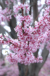 Eastern Redbud (Cercis canadensis) at Riverbend Nurseries