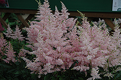 Younique Silvery Pink™ Astilbe (Astilbe 'Verssilverypink') at Riverbend Nurseries