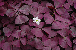 Charmed Wine Shamrock (Oxalis 'Charmed Wine') at Riverbend Nurseries
