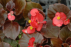 Cocktail Vodka Begonia (Begonia 'Cocktail Vodka') at Riverbend Nurseries