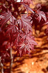 Glowing Embers Japanese Maple (Acer palmatum 'Glowing Embers') at Riverbend Nurseries