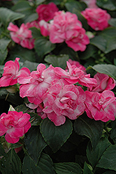 Fiesta Stardust Pink Double Impatiens (Impatiens 'Fiesta Stardust Pink') at Riverbend Nurseries