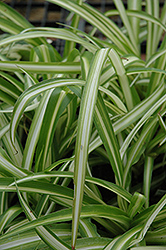Spider Plant (Chlorophytum comosum) at Riverbend Nurseries