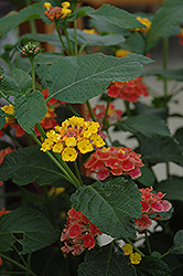Confetti Lantana (Lantana camara 'Confetti') at Riverbend Nurseries