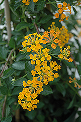 Tangerine Lantana (Lantana 'Mone') at Riverbend Nurseries